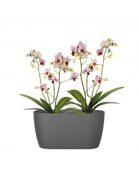 brussels orchid duo