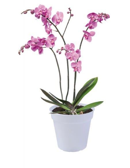 green basics orchid