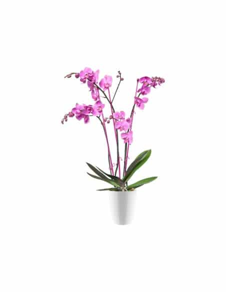 brussels diamond orchid high