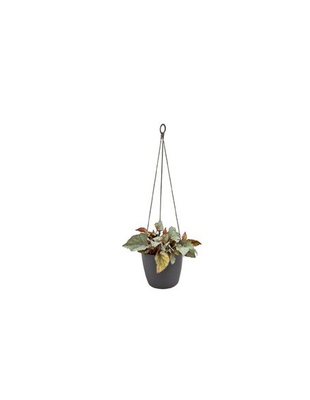brussels hanging basket